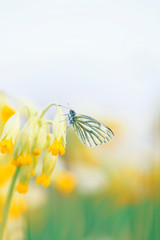 vertical background with white butterfly sitting on delicate yellow primrose flowers on spring Sunny green meadow