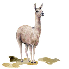 Watercolor card with llama on the ground. Hand painted beautiful illustration with animal isolated on white background. For design, print, fabric or background.