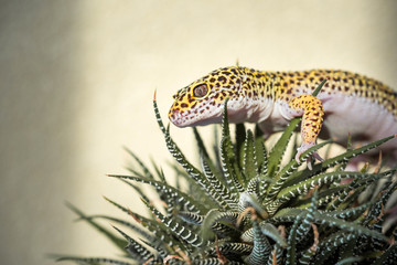Eublepharis is cute leopard gecko Wall mural