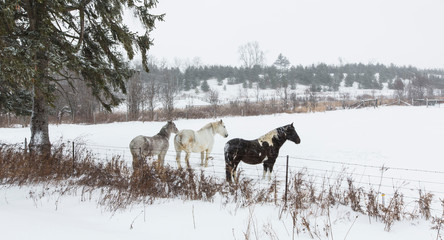 Three horses stand in a field in the winter