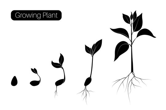 Plant growth phases infographic. Evolution germination progress concept. Seed, bean, sprout organic agriculture.