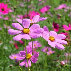 colorful genus zinnia or cosmos flower in the garden
