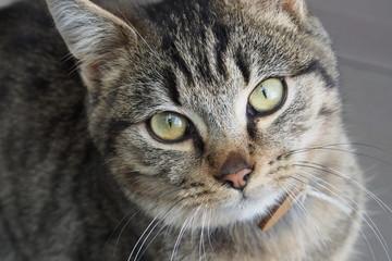 Getigerte junge Katze blickt auf