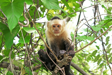 Capuchin Monkey. Punta Arenas, Costa Rica. A medium sized Monkey,  the organ grinder monkey