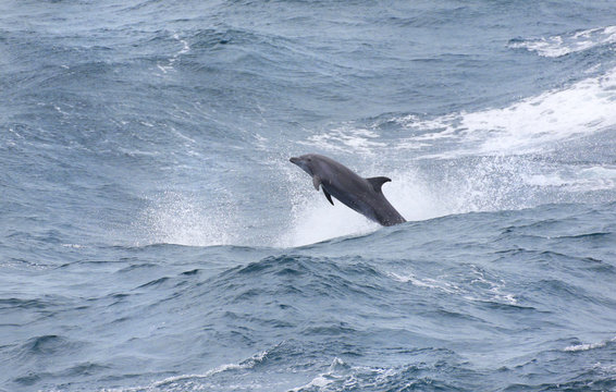 Wild Bottle-nose Dolphin Playing in the windy surfs, big ocean waves. Porpoising Dolphins.