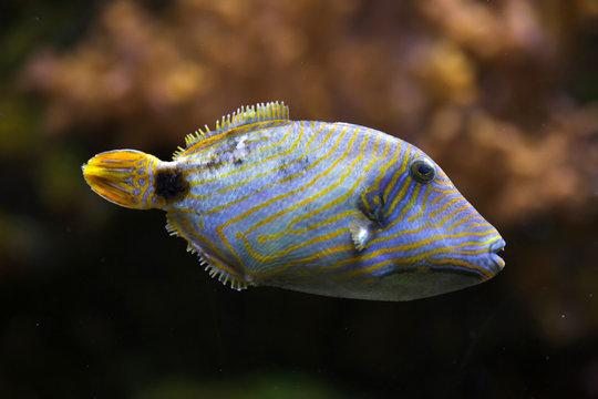 Orange-lined triggerfish (Balistapus undulatus).