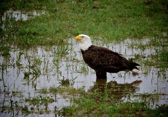 bald eagle in pond