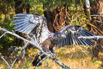 juvenile bald eagle wings spread