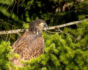 Juvenile Eagle in the trees