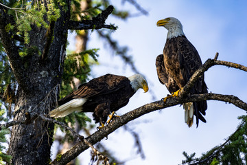 pair of bald eagles perched