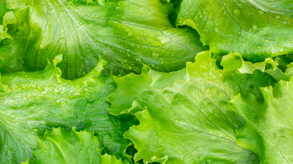 Fresh cut leaves of green lettuce texture, top view