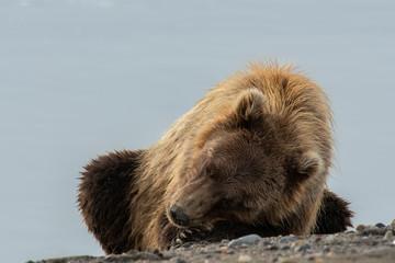 Brown bear (Ursus arctos);  Alaska