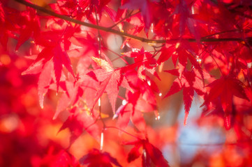 Red maple leaves in autumn in the neigbourhood of the Mount Fuji, Japan.