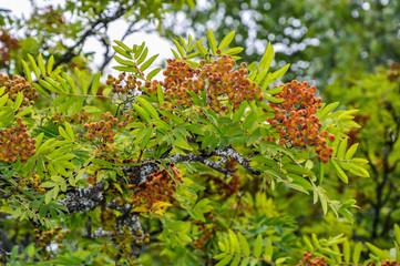 Berries on rowan tree