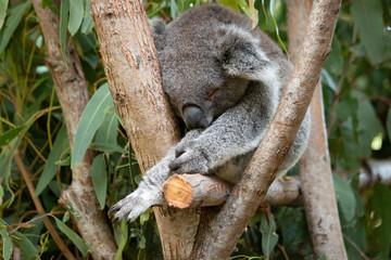 Canvas Prints sleeping koala bear