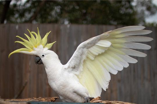 flying The Sulphur-crested Cockatoo (Cacatua galerita)