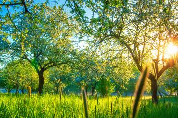 Sun in blossoming spring garden
