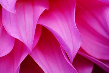 Macro shot pink petal of pink flower background