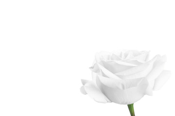 white rose isolated on white background with copy space
