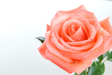 Top view of single pink rose with copy space - Water drop on the flower