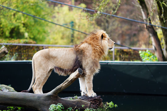 Male African Lion Standing on the fallen tree in the zoo