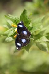 farfalla nera con dettagli bianchi poggiata su delle foglie