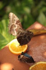 Farfalla marrone sopra uno spicchio di arancia