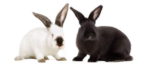 White albino rabbit and black rabbit sitting together isolated on white background