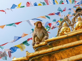 Photo sur Plexiglas Singe Sitting monkey on the stupa in Monkey temple, Kathmandu, Nepal