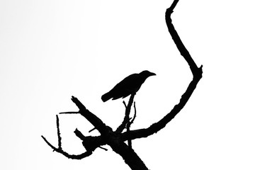 silhouette of crow on tree branch isolated on pale white background