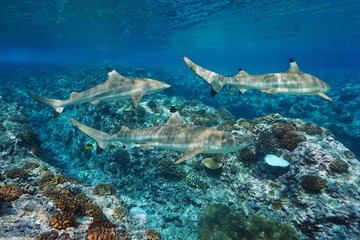 Blacktip reef sharks underwater and corals, Pacific ocean, French Polynesia