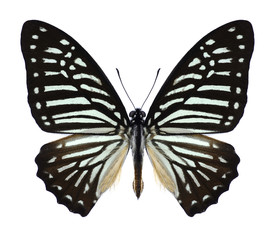 Butterfly Graphium macareus (male) on a white background