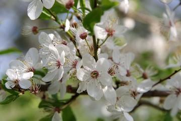 Obraz Wiosna drzewo owocowe - fototapety do salonu
