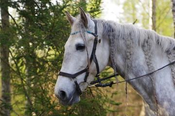 Siwy koń Lusitano - fototapety na wymiar