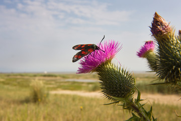 Cinnabar moth on the dark purple flower of Marsh thistle, growing near the sea