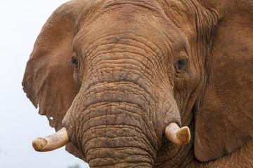 African bush elephant or African savanna elephant  (Loxodonta africana). North West Province. South Africa