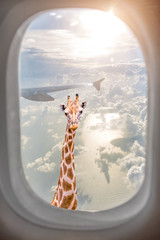 Giraffe with long neck surprisingly looking through plane window at sunset