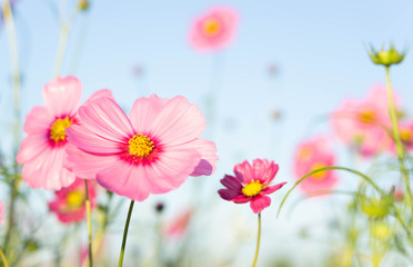 Papiers peints Univers Closeup beautiful pink cosmos flower with blue sky background, selective focus