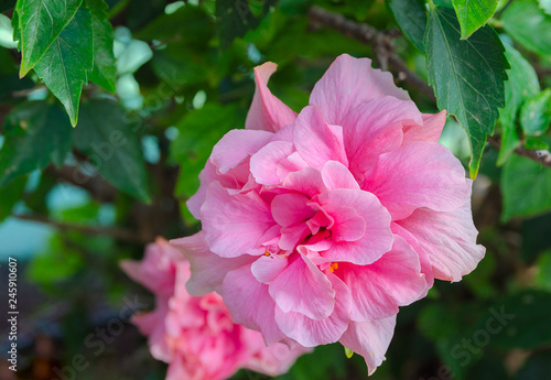 Hibiscus Syriacus Ardens Or Deciduous Hibiscus With Green Leaves
