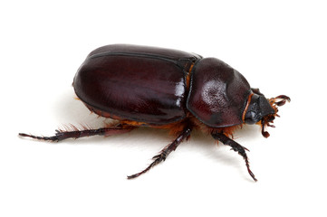 Beetle isolated on white