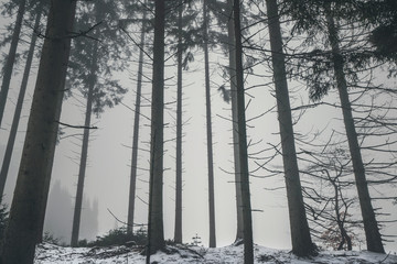 Forest in the mist with tall barenaked trees