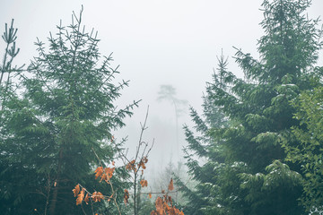 Forest with pine trees in a misty landscape in the fall