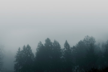 Misty forest scenery with pine treetops