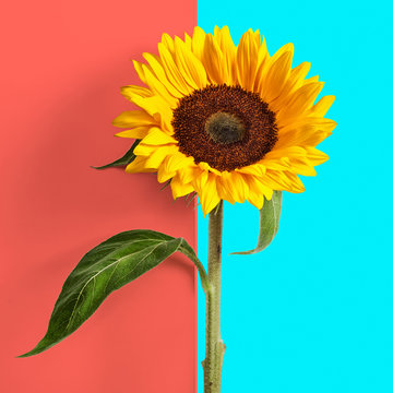Sunflower on double coral blue background