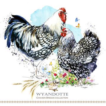 Wyandotte Chicken breed. Poultry farming. domestic farm bird watercolor illustration.