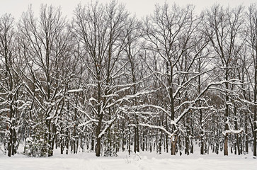 snowy trees of winter forest