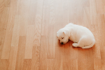West terrier puppy lying on the floor