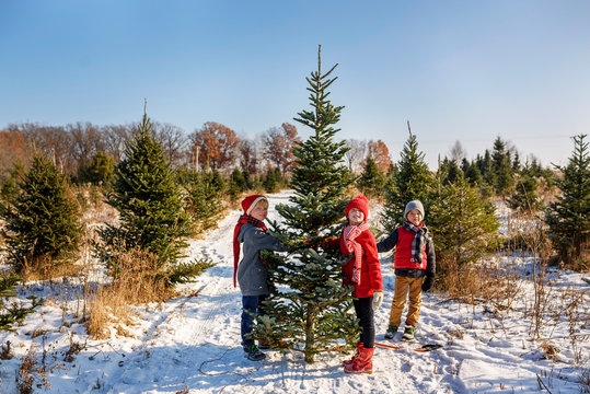 Three children choosing a Christmas tree on a Christmas tree farm, United States