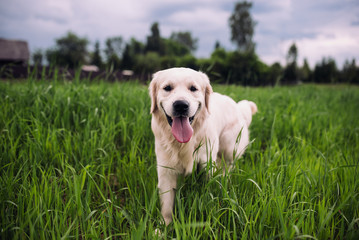 Happy and active golden retriever dog in a field in spring.