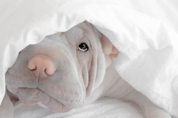 Shar-pei puppy dog hiding under a duvet  Fotobehang